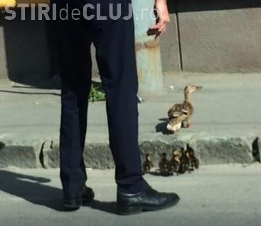 Un polițist din Cluj a oprit traficul ca să treacă MAMA rățușcă și bobocii ei - FOTO