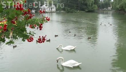 """Un """"cuplu"""" de lebede și-a făcut casă pe lacul din Parcul Central VIDEO"""