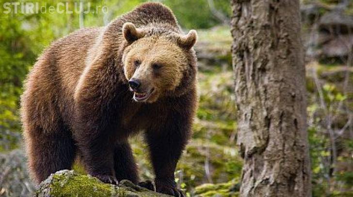 Cluj: Un urs agresiv trebuie împușcat. Mutarea lui în Parcul Naţional Apuseni a eșuat