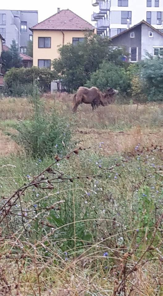 O cămilă a fost fotografiată în Mărăști. Animalul păștea lângă blocuri - FOTO