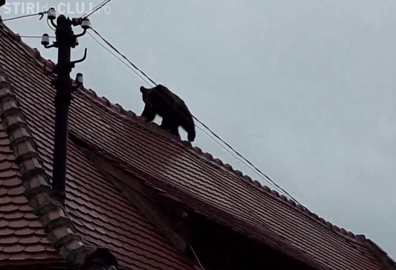 Şeful Poliţiei Sibiu a ordonat poliţiştilor să calce ursul cu maşina
