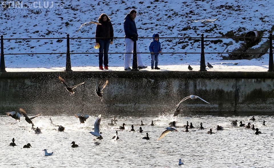 Feerie pe Someș! Sute de păsări s-au adăpostit la Cluj. Pescarii cer, însă, exterminarea cormoranilor - FOTO