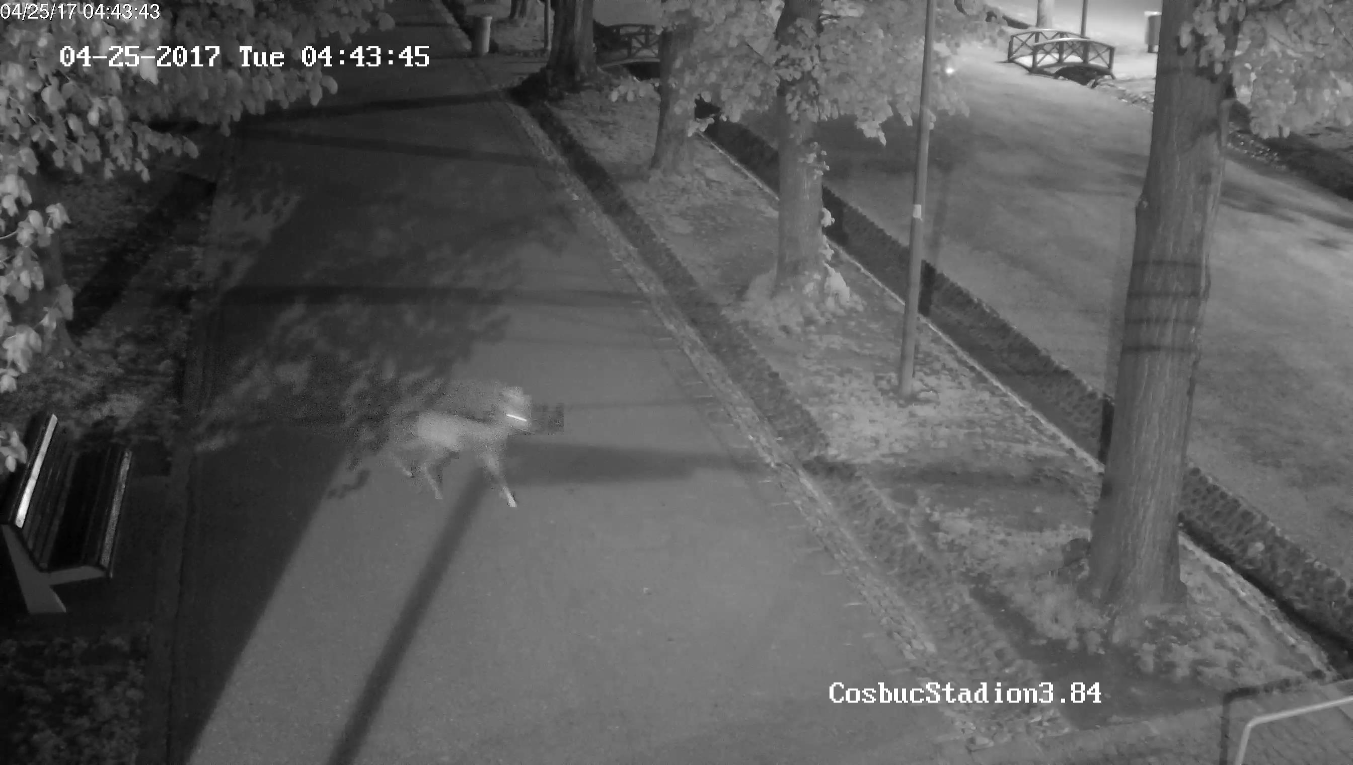 Cluj-Napoca: Un căprior a ajuns în Parcul Central. Nu a reușit tranchilizarea și s-a luat această DECIZIE - VIDEO