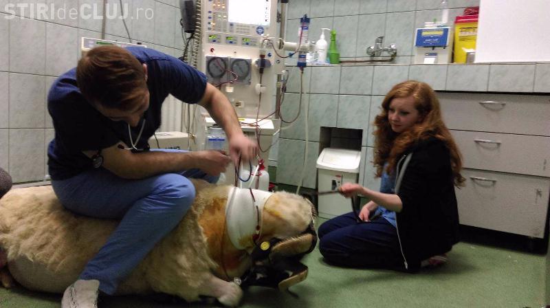 Cluj-Napoca PREMIERĂ: Un berbec de 120 de kg a făcut hemodializă