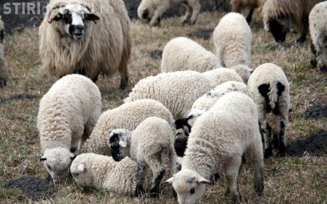 Clujeni prinși de polițiști după ce au reușit să fure peste 80 de oi