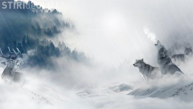 Cerb suliţar atacat de lupi în Cheile Bicazului - VIDEO spectaculos