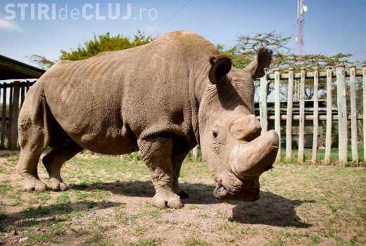 Rinocerul alb, dispare de pe Pământ! Ultimul mascul din specie a murit