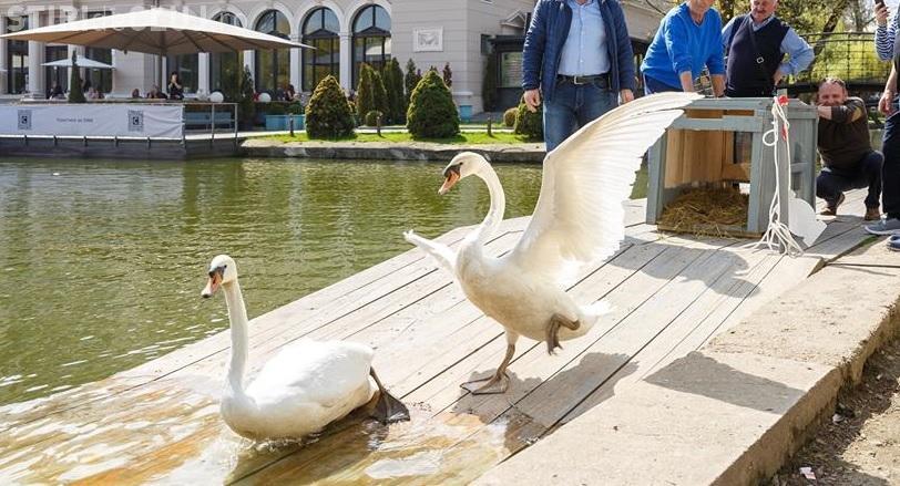 Cluj-Napoca: Două perechi de lebede eliberate pe lacul Chios - FOTO