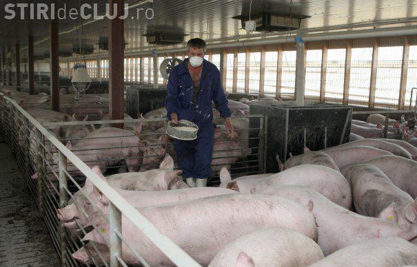 Pesta porcină în Cluj! Se asigură stocul de substanțe dezinfectante