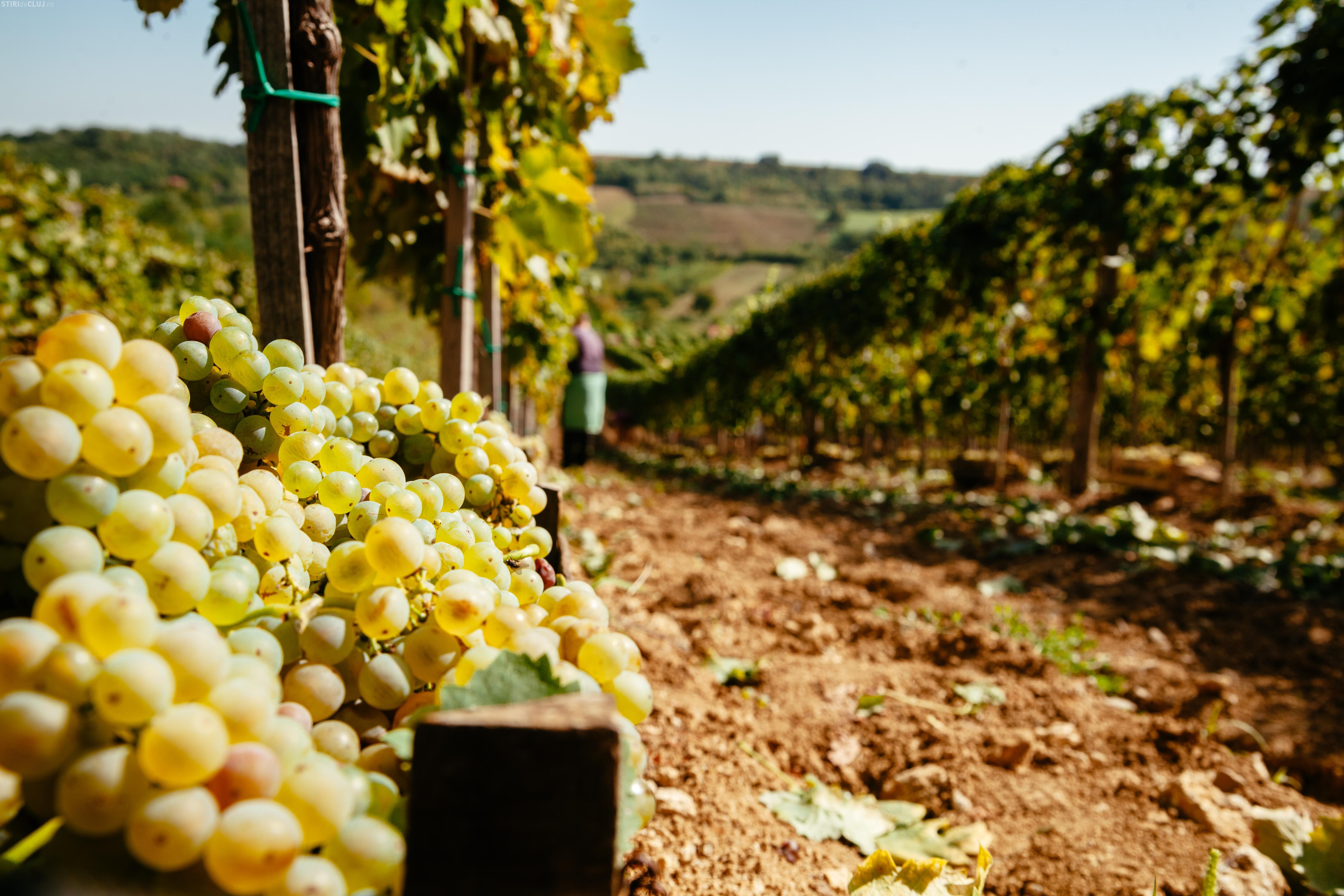 10 motive pentru a-ți face vin de casă cu must de la Jidvei (P)