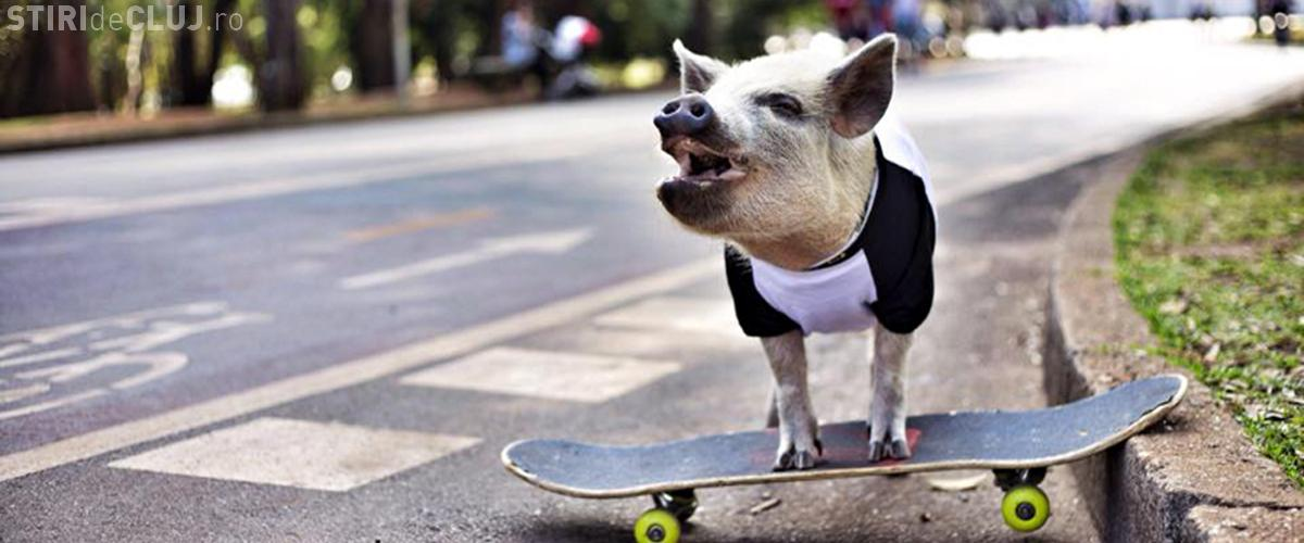 Porc pe skateboard. VIDEO extrem de amuzant