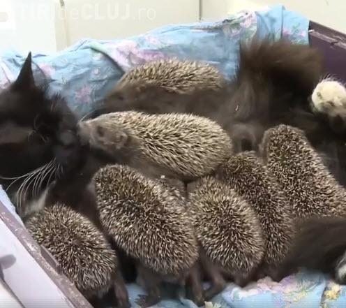 """Imagini adorabile! O pisică a adoptat o """"familie"""" de arici orfani - VIDEO"""