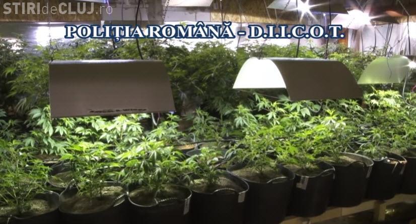 Fermă de cannabis depistată de Poliție. Totul era bine pus la punct. Vorbim de 2 tone de cannabis - VIDEO