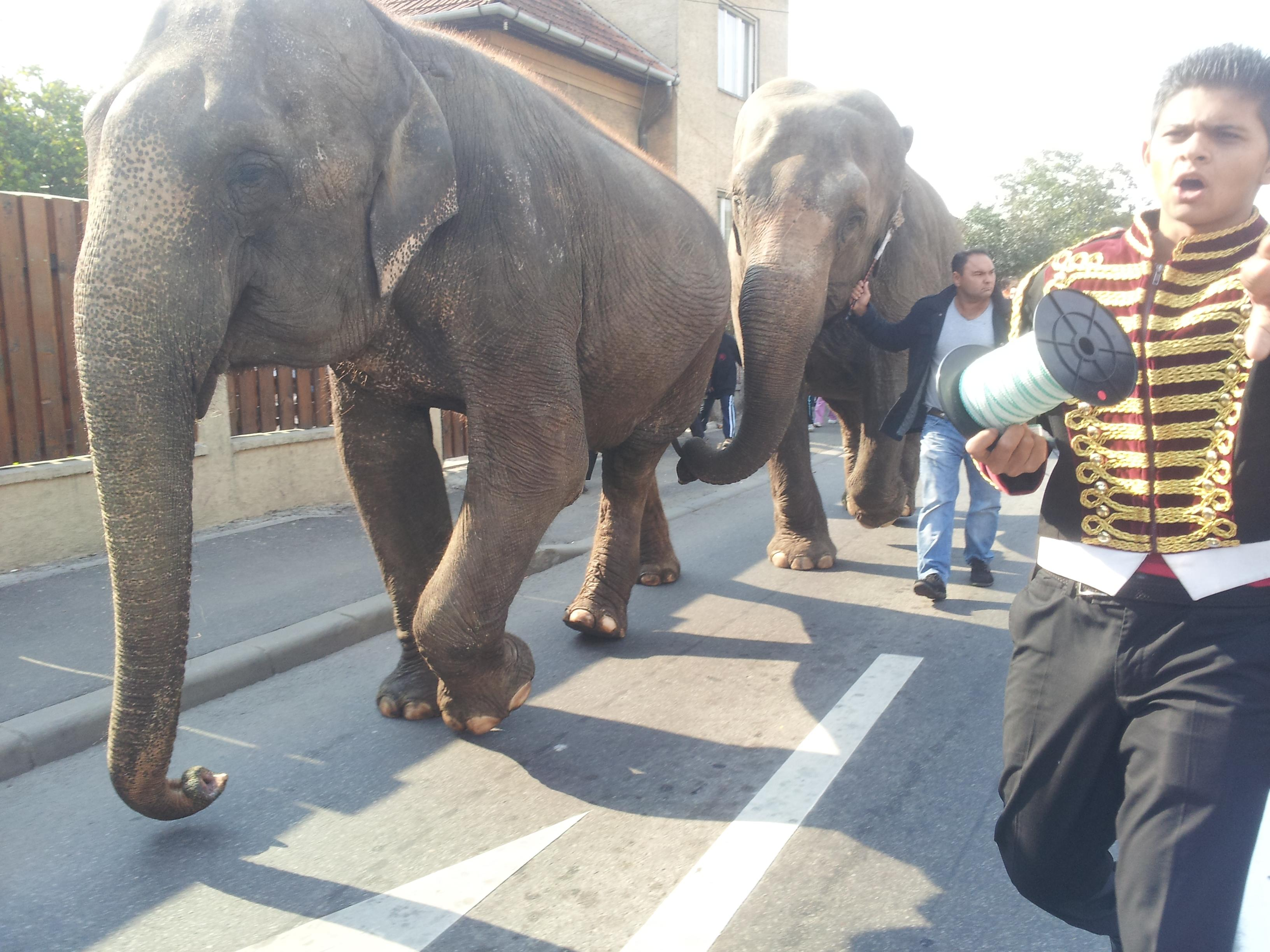 Parada elefanților pe străzile Clujului - VIDEO și FOTO