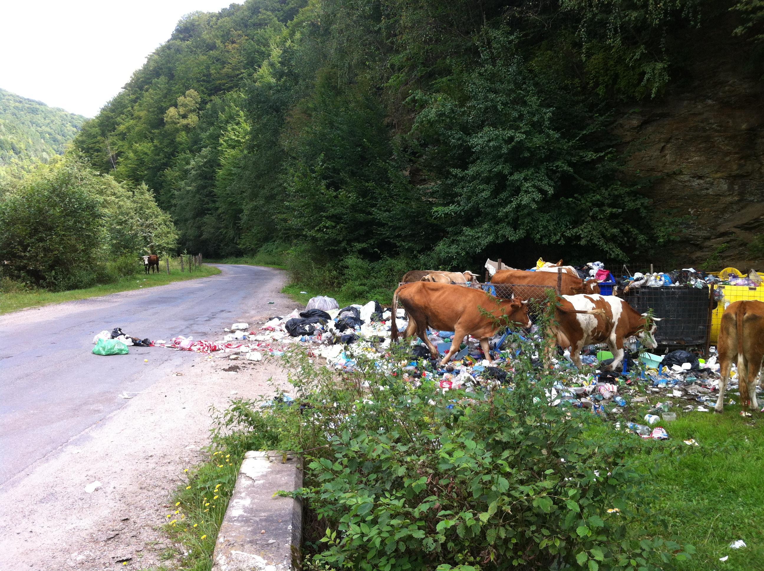 Vacile de la Mărișel mănâncă de la groapa de gunoi - FOTO