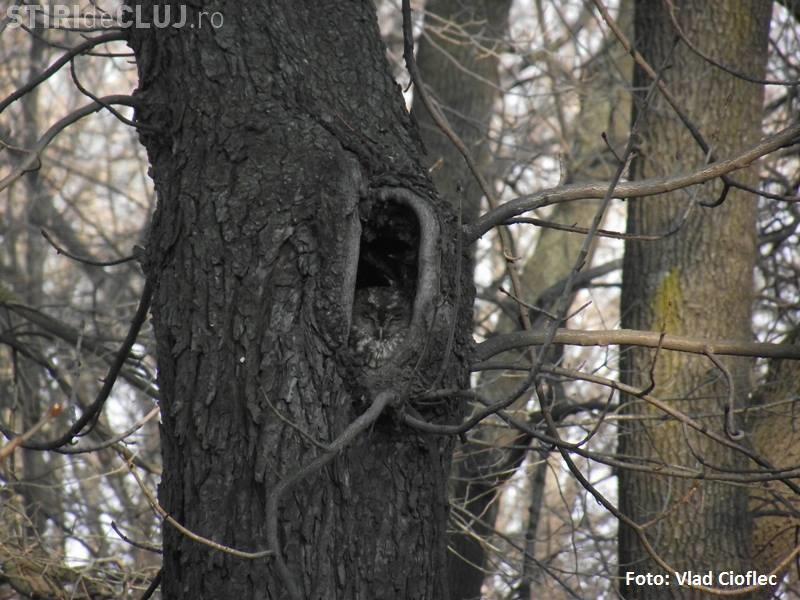 În pădurile din jurul Clujului sunt amplasate 50 de cuiburi artificiale pentru bufnițe - FOTO