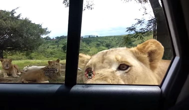 Leul i-a deschis ușa mașinii! I-a înghețat INIMA - FUNNY VIDEOS