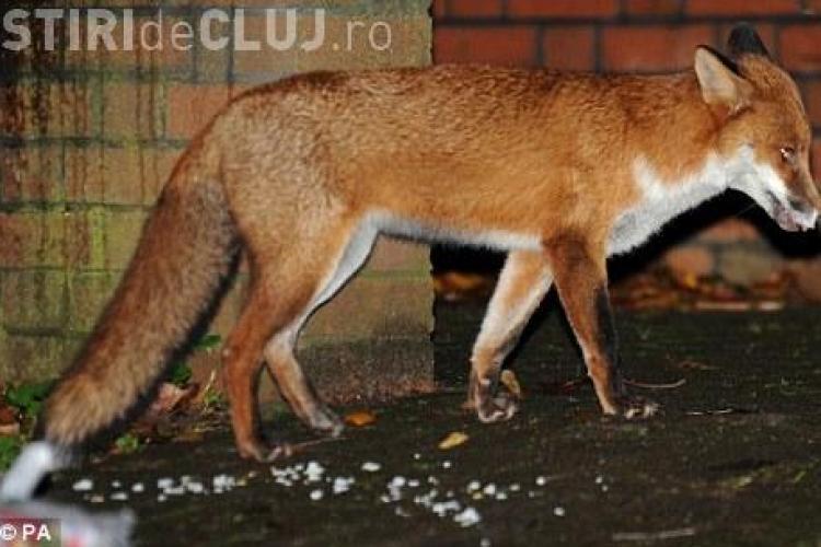 O vulpe i-a lasat pe zeci de soferi dintr-un oras englezesc fara ... frane