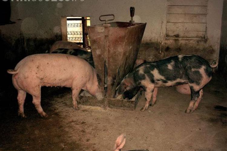 Vaccinarea porcilor contra pestei va fi sistata de la 1 ianuarie 2010