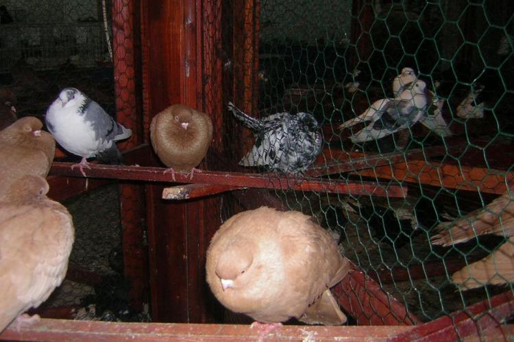 Rollerii de Cluj, vedetele expozitiei de pasari