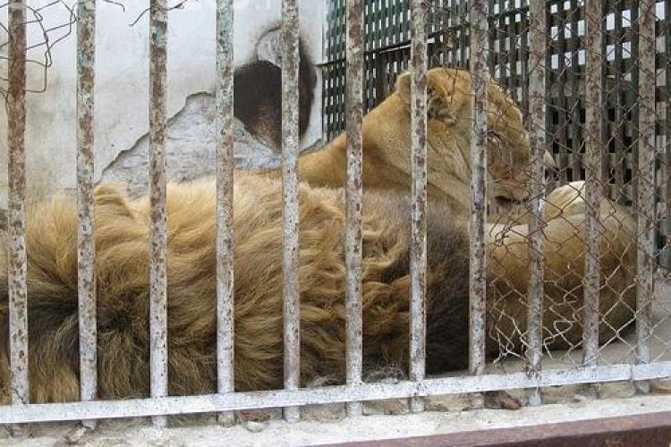 De Revelion, leii de la Zoo Turda vor fi tratati cu piept de pui, iar babuinul cu ceapa cruda