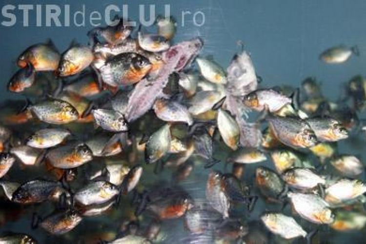 Pestii Piranha pot fi vazuti de luni la noul acvariu al USAMV Cluj - VIDEO