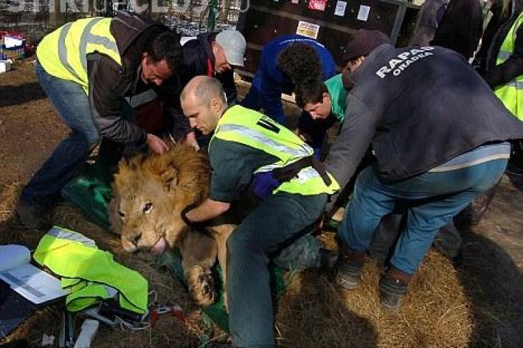 13 lei au fost mutati de la Oradea la o gradina zoologica din Anglia, in cea mai mare operatiune de salvare a unor feline - FOTO