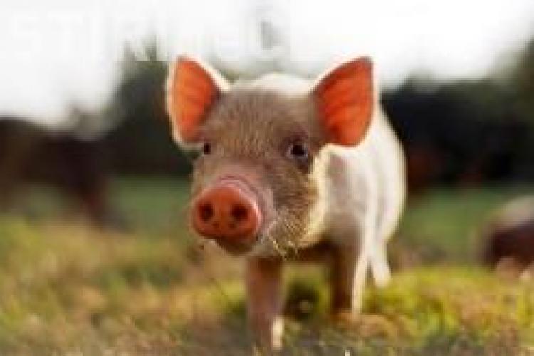 Sa mai si radem de gripa porcina! Singurul porc din Afganistan, tinut in carantina din cauza virusului AH1N1