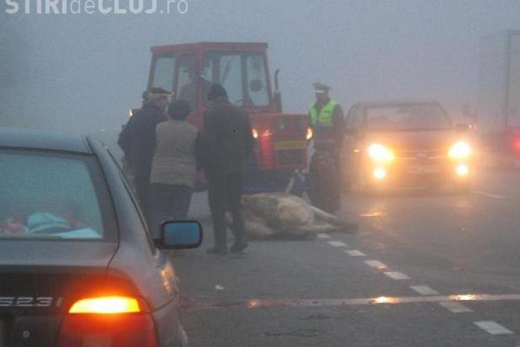 O ciurda de vaci a fost lovita de un autocar in comuna Livada - VIDEO si FOTO