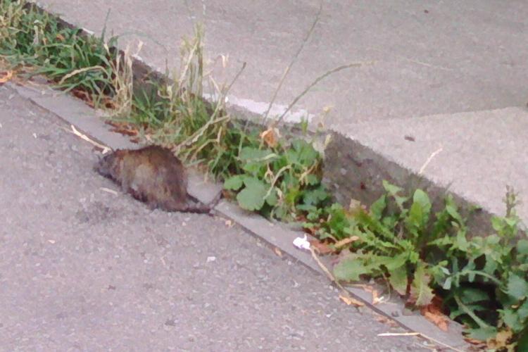 Șobolani cât pisica în Mănăștur. Vin din Florești sau sunt din cauza deșeurilor menajere? -  FOTO