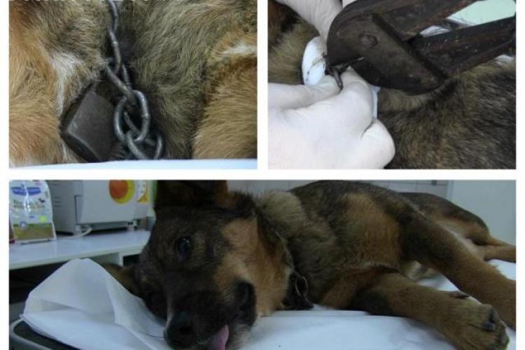 Câine abandonat, salvat de veterinarii din Dej. Lanțul de la gât l-a strâns până s-a încarnat