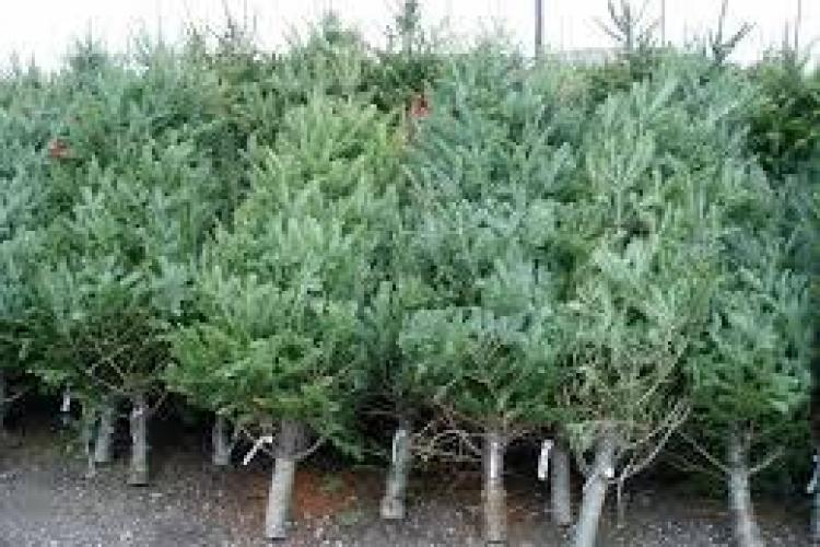 Au început deja furturile de pomi de Crăciun. Polițiștii au găsit zeci de brazi tăiați în pădure
