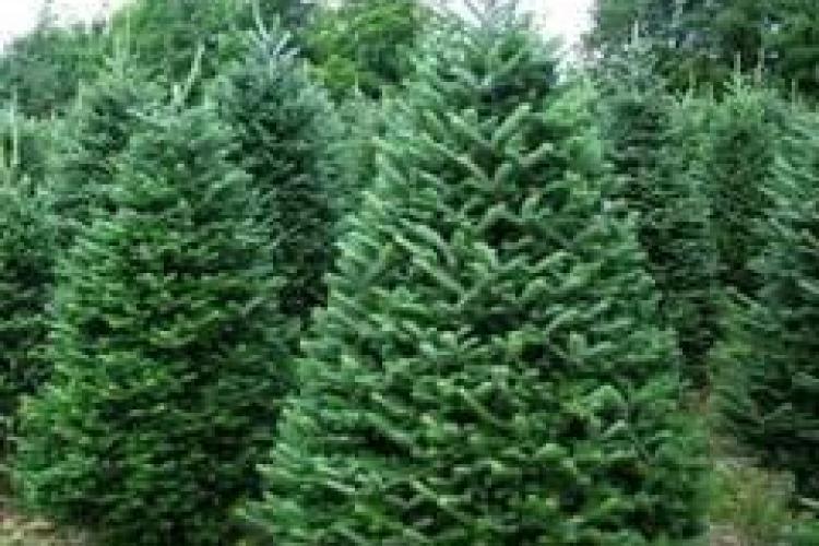 Hoții de brazi își fac deja proviziile pentru Crăciun. Polițiștii au confiscat aproape 300 de pomi de la un clujean