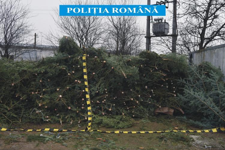 Sute de pomi de Crăciun, confiscați de polițiști la Cluj. Un pădurar este cercetat pentru abuz în serviciu