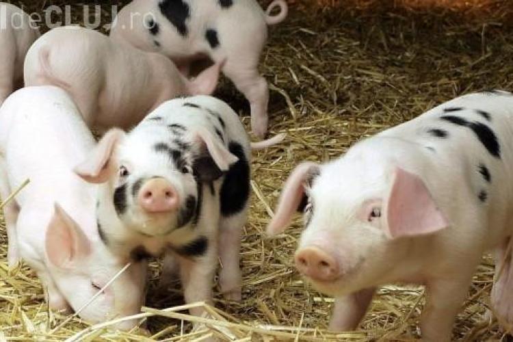 Criză în sectorul creşterii porcilor: Astăzi se produce 1 kg de carne cu 1,25 Euro şi se vinde cu 0,78 Euro