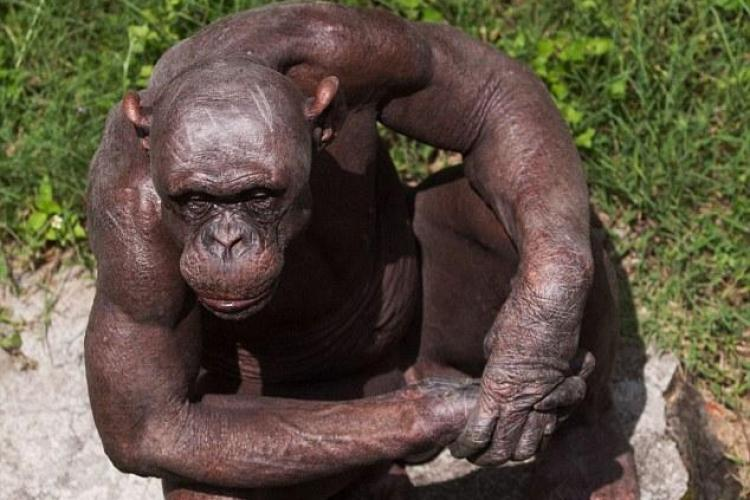Un cimpanzeu chel este vedeta unei gradini zooologice din sudul Indiei - FOTO
