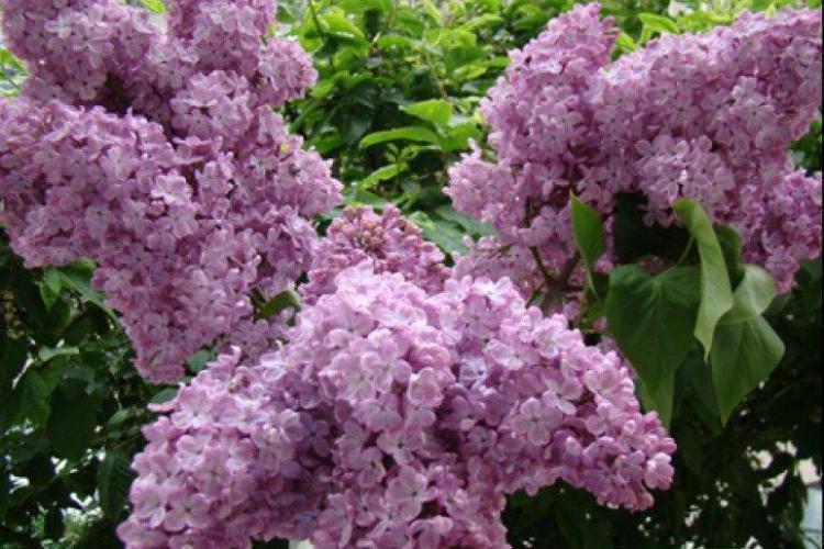 Ce boli tratează floarea de liliac