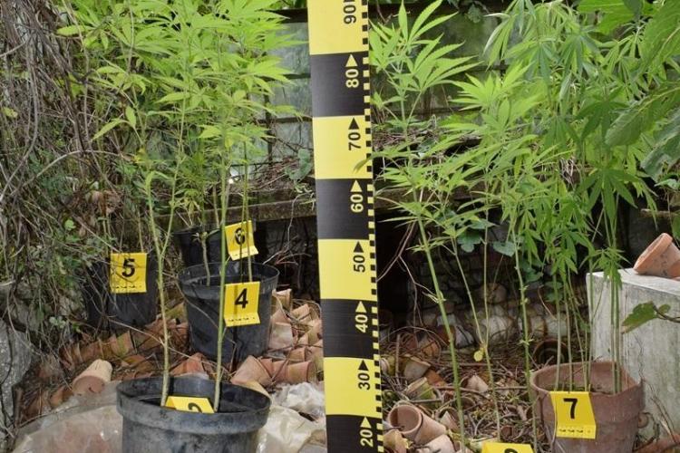 Cultură de cannabis, descoperită de polițiști la Cluj. Unde creșteau doi tineri plantele FOTO