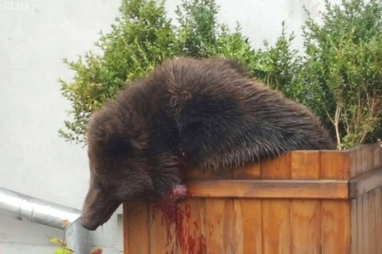 Cruzime sau prostie la Sibiu? Momentul în care a fost împușcat puiul de urs ridică semne de întrebare - VIDEO