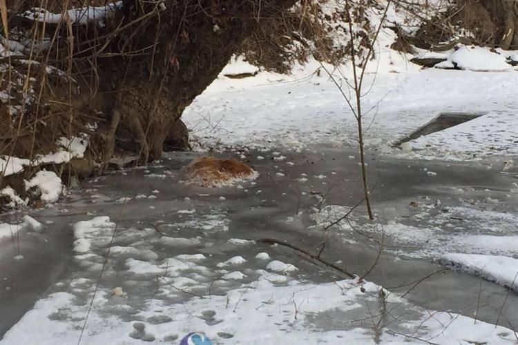 CLUJ: Imagini de groază la Mintiu Gherlii! Mai multe vaci au murit prinse în gheață FOTO