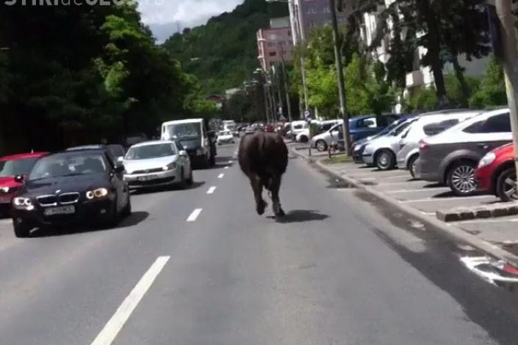 Cluj-Napoca: Un bivol a fost filmat în Grigorescu. A blocat traficul - VIDEO