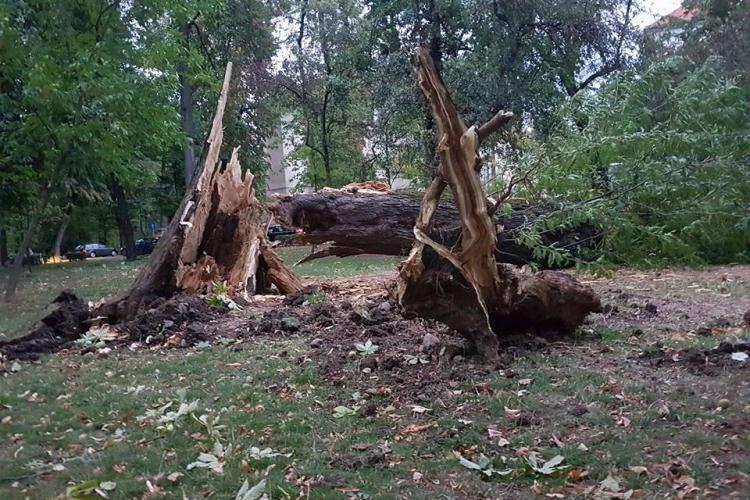 Puteau muri clujeni azi în Parcul Central. Mulți copaci bătrâni au fost rupți ca scobitorile de vijelie - FOTO