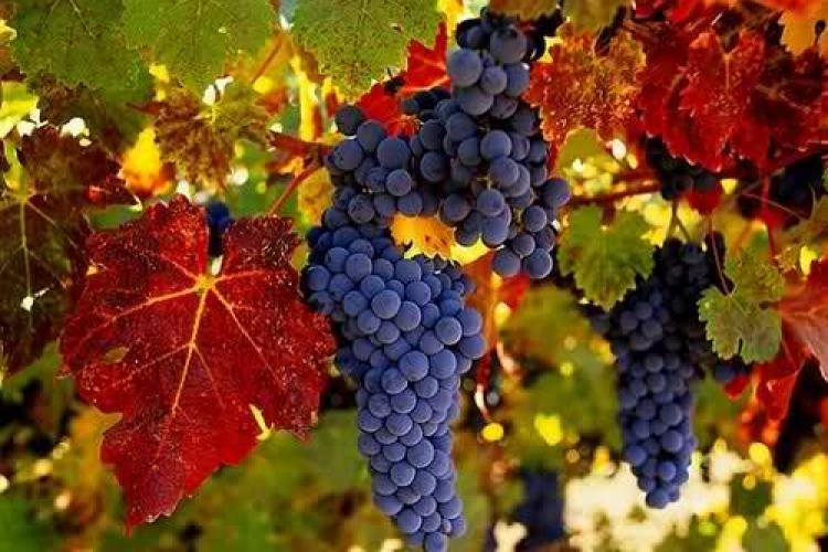 Unul dintre marii producători de vinuri din România se plânge că nu are cine să îi culeagă via