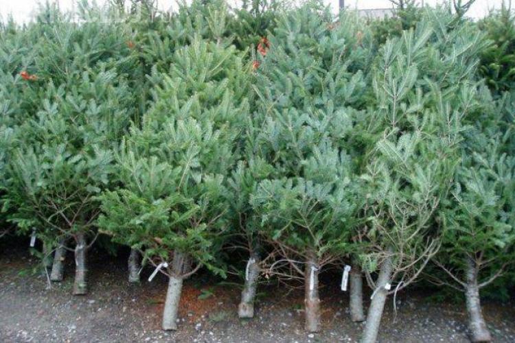 CLUJ: Razie la comercianții de pomi de Crăciun. S-au data amenzi de 10.000 de lei