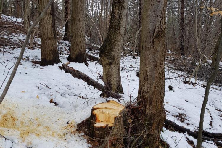 Clujean amenințat de tăietorii de lemne din pădurea Făget - VIDEO