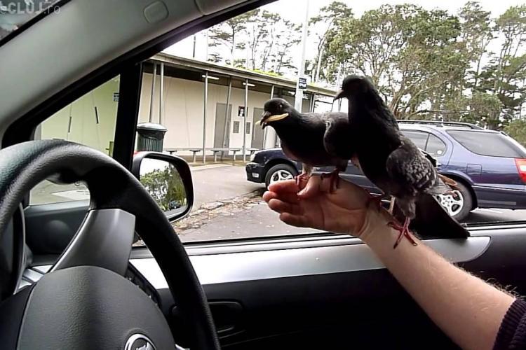 A picat examenul auto pentru că nu a încetinit în preajma unor porumbei