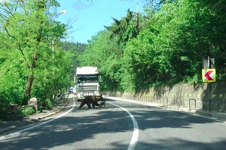 O ursoaică a oprit traficul la Băile Tușnad, pentru a-și traversa puiul - VIDEO