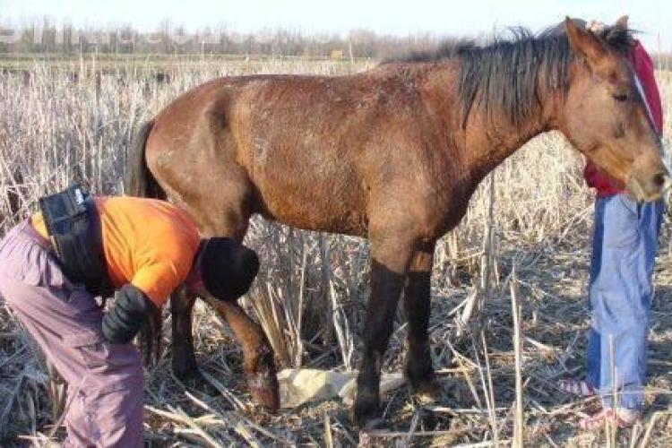 Un barbat din Belis i-a impuscat calul unui vecin, pentru ca i-a intrat pe proprietate