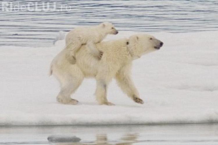 Ursii polari isi cara in spate puii, pentru a-i proteja de frig - FOTO