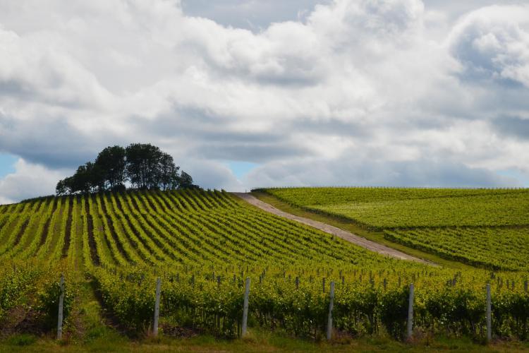 Jidvei vinde must românilor care vor să-și facă vin acasă (P)